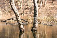 Bosque inundado, - inundación foto de archivo