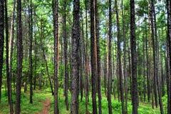 Bosque Jiagedaqi de Daxinganling de la provincia de China, Heilongjiang Foto de archivo