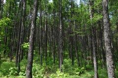 Bosque Jiagedaqi de Daxinganling de la provincia de China, Heilongjiang Foto de archivo libre de regalías
