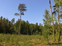 Bosque joven creciente del pino Imagen de archivo libre de regalías