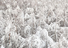 Bosque joven del abedul cubierto con nieve Fotos de archivo libres de regalías