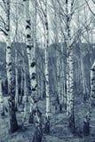 Bosque joven del abedul el la primavera Foto de archivo