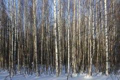 Bosque joven del abedul en invierno Fotografía de archivo