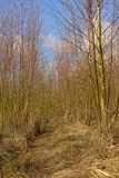 Bosque joven del abedul en un día de invierno soleado Imagen de archivo