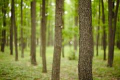 Bosque joven del roble Fotos de archivo