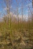 Bosque joven denso del abedul en un día de invierno soleado Imagen de archivo