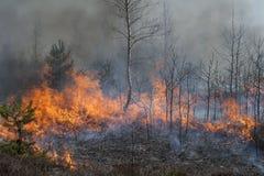 Bosque joven en fuego Foto de archivo libre de regalías
