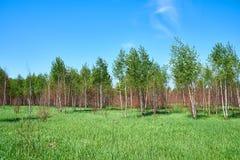 Bosque joven hermoso en día de verano Imagenes de archivo
