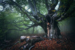 Bosque místico del otoño en niebla por la mañana Árbol viejo Fotos de archivo