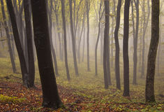 Bosque místico encantado con niebla en otoño Imagen de archivo libre de regalías