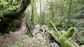 Bosque místico salvaje con el árbol cubierto de musgo almacen de metraje de vídeo