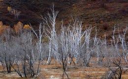 Bosque marchitado mágico en el prado de Ulan Buh Fotografía de archivo