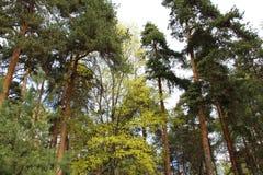 Bosque mezclado - conífero y árboles de hojas caducas en el mismo bosque imágenes de archivo libres de regalías