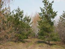Bosque mezclado conífero y árboles de hojas caducas en el bosque en primavera fotos de archivo libres de regalías