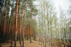 Bosque mezclado grande del pino y del abedul Foto de archivo
