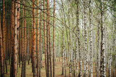 Bosque mezclado grande del pino y del abedul Fotografía de archivo libre de regalías