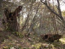 Bosque misterioso, liquenes en ramas de árboles y troncos viejos imágenes de archivo libres de regalías