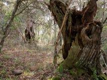 Bosque misterioso, liquenes en ramas de árboles y troncos viejos imagen de archivo libre de regalías