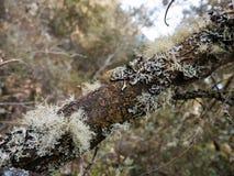 Bosque misterioso, liquenes en ramas de árboles y troncos viejos foto de archivo
