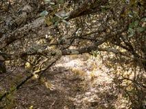 Bosque misterioso, liquenes en ramas de árboles y troncos viejos imagen de archivo