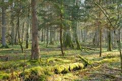 Bosque natural con la mentira muerta del tronco de árbol Imagen de archivo libre de regalías