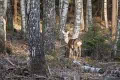 Bosque natural de los árboles de abedul con los ciervos de huevas en la luz del sol de la puesta del sol Imagen de archivo