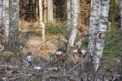 Bosque natural de los árboles de abedul con tres ciervos de huevas en la luz del sol de la puesta del sol Imagen de archivo libre de regalías