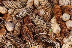 Bosque natural del pino molido con los conos Fotos de archivo libres de regalías
