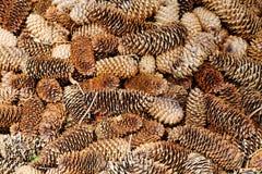 Bosque natural del pino molido con los conos Imagenes de archivo