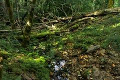 Bosque natural e indemne en la ciudad de Sigulda, Letonia imágenes de archivo libres de regalías