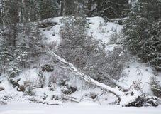 Bosque Nevado con el abedul derribado por el viento Fotos de archivo