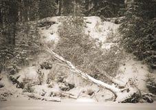 Bosque Nevado con el abedul derribado por el viento Imágenes de archivo libres de regalías