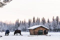 Bosque Nevado con los caballos en Suecia septentrional Fotos de archivo