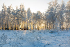 Bosque nevado del abedul del invierno Fotos de archivo libres de regalías