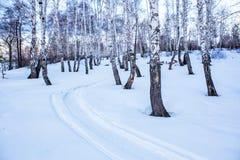 bosque nevado del abedul del invierno Fotos de archivo