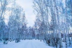 bosque nevado del abedul del invierno Imagenes de archivo