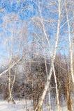 Bosque nevado del abedul del invierno Fotografía de archivo libre de regalías