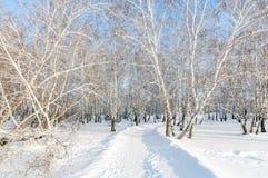 Bosque nevado del abedul del invierno Foto de archivo