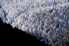 Bosque nevado del pino Imágenes de archivo libres de regalías