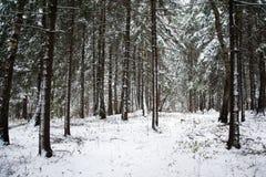 Bosque nevado del pino Fotos de archivo libres de regalías