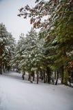 Bosque Nevado en las montañas de Madrid. Imagenes de archivo