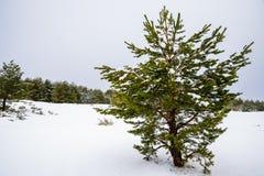 Bosque Nevado en las montañas de Madrid. Fotografía de archivo libre de regalías