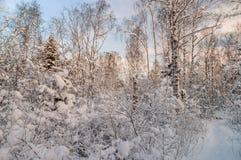 Bosque Nevado en luz de la puesta del sol Fotografía de archivo libre de regalías