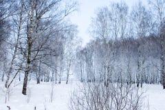 Bosque nevado hermoso del abedul Foto de archivo libre de regalías