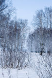 Bosque nevado hermoso del abedul Imagen de archivo