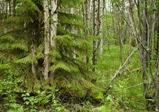 Bosque norteño mezclado - spruce y abedul Fotos de archivo libres de regalías