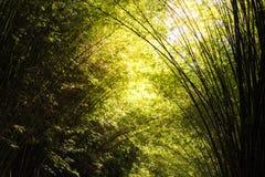 Bosque o arboleda de bambú de Beautyful Imagen de archivo libre de regalías