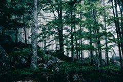 Bosque oscuro de niebla Imagen de archivo