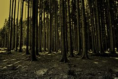 Bosque oscuro del pino Foto de archivo libre de regalías