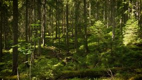 Bosque oscuro escénico almacen de video